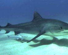 Quali sono gli squali più pericolosi del mondo